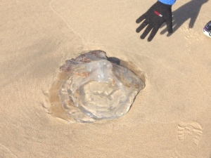The biggest jellyfish I've ever seen...yuck!