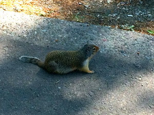 Columbian ground squirrels don't live in trees - they dig holes in the ground