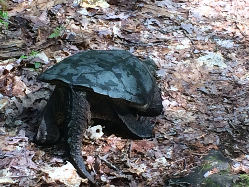"""""""Mr."""" turtle"""